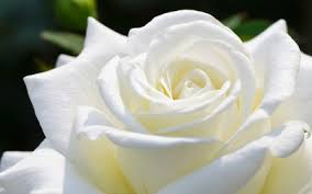 Image result for images of rose white