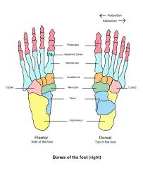 bones in the foot diagram   anatomy human body    bones in the foot diagram right foot anatomy right foot bone anatomy humananatomybody
