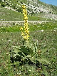 Verbascum longifolium   Luca Massenzio Palermo   Flickr
