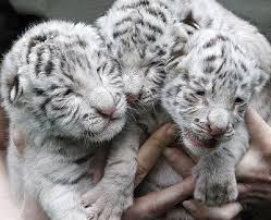 Resultat d'imatges de tigre de bengala