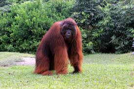 orangutan க்கான பட முடிவு