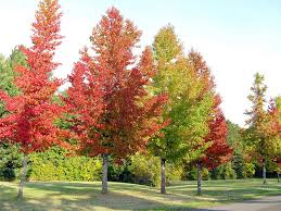 Image result for sweet gum tree
