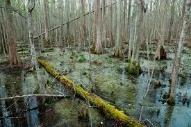 Image result for swamp