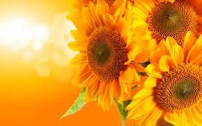 Kết quả hình ảnh cho Hình ảnh hoa hướng dương