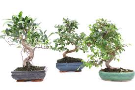 indoor bonsai trees bought bonsai tree