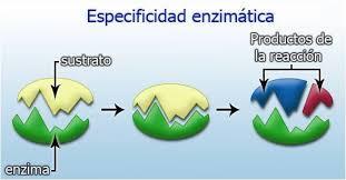 Resultado de imagen de enzimas