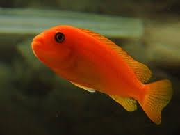 Resultado de imagen para pez rojo