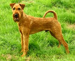 Image result for Irish terrier