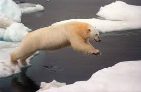 polar bear    Kids Encyclopedia   Children     s Homework Help   Kids     Photograph A polar bear leaping between ice floes in the Arctic Ocean  Arctic sea