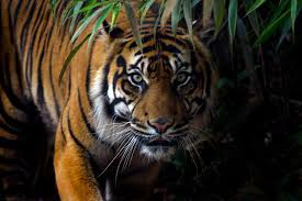 <b>Tigers</b>: The Largest Cats in the World | Live Science