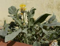 Centaurea acaulis L. {ID 1830} - Fiordaliso acaule - Forum Acta ...