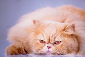 The Persian Cat - The Glamour Cat of Cats - AKA Grumpy Cat via Relatably.com