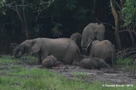 of old forest elephant matriarchs threatens rainforests poaching of old forest elephant matriarchs threatens rainforests