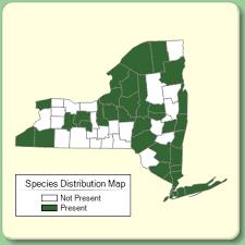 Saponaria officinalis - Species Page - NYFA: New York Flora Atlas