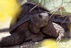 <b>desert</b> tortoise adoption program