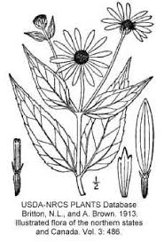 Helianthus pauciflorus subsp ... - Online Virtual Flora of Wisconsin