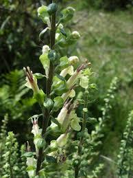 Teucrium scorodonia - Wikipedia