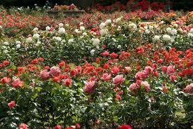 Image result for images of rose garden