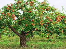 Image result for apple tree