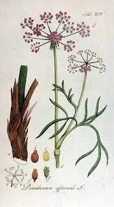 Peucedanum officinale Hog's Fennel PFAF Plant Database