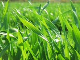 「無料 大麦若葉」の画像検索結果