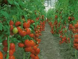 Resultado de imagen para tomate en invernaderos