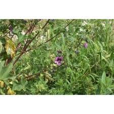 Genere Lavatera - Flora Italiana
