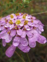 Floração ~ Lavatera olbia | Flora-On