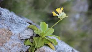 Dove fiorisce la rara primula di Palinuro   LifeGate