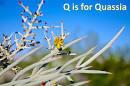 quassia family