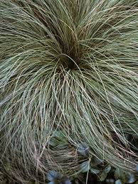 Carex Frosted Curls -- Bluestone Perennials