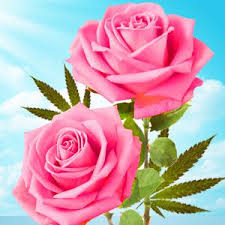<b>Cannabis Rose</b> Type Fragrance Oil | Natures Garden Scents