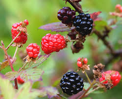 Image result for red black berries