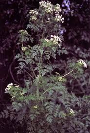 Conium maculatum - Wikipedia