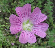 Lavatera punctata - Wikipedia, la enciclopedia libre