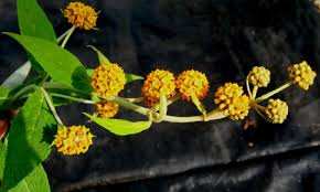Buddlejaceae - Wikipedia