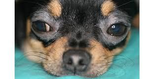 Slikovni rezultat za canine dermatitis