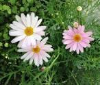 paris daisy