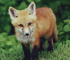 Animal Facts: <b>Red fox</b> | Canadian Geographic