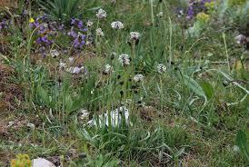 Plantago argentea Chaix subsp. argentea
