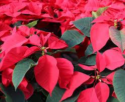 Poinsettia <b>Christmas flower</b> history, plant care, poison myth   The Old ...