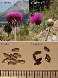 (PDF) On the identity of Carduus euboicus (Asteraceae) from Mt ...