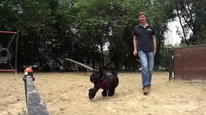 Kerry Blue Terrier (14 months): obstacle course / <b>Керри блю терьер</b> ...