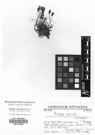 Neotypification of the name Plantago alpina (Plantaginaceae)