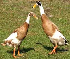 Indian Runner Duck | Modern Farming Methods