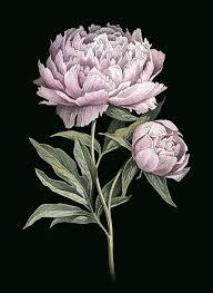 Pink <b>Peony</b> botanical illustration by Okhotnikova <b>Maria</b> | Botanical ...