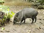 Images & Illustrations of collared peccary