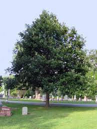 Image result for Overcup Oak Trees