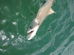 key west shark fishing is red hot tarpon diem a key west key west back country fishing
