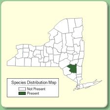 Iberis sempervirens - Species Page - NYFA: New York Flora Atlas